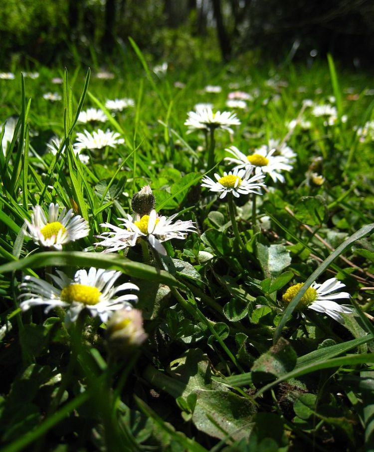 846px-Daisies_by_macro